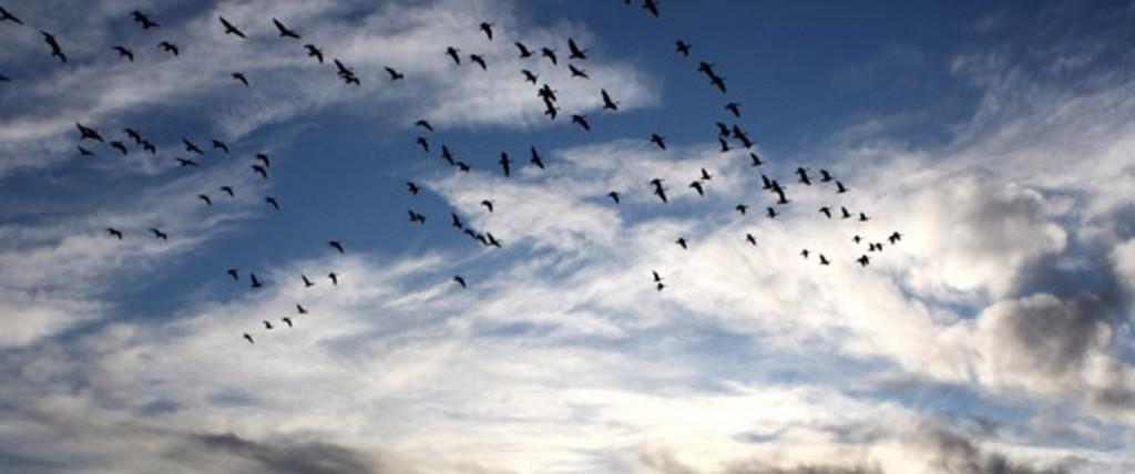 ocells-volant
